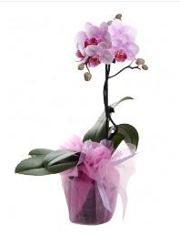 1 dal pembe orkide saksı çiçeği  Çanakkale çiçek , çiçekçi , çiçekçilik