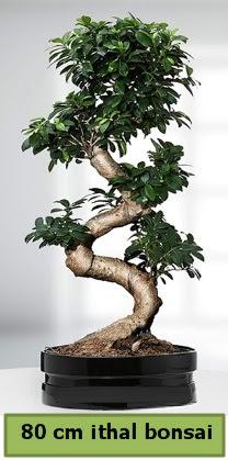 80 cm özel saksıda bonsai bitkisi  Çanakkale online çiçek gönderme sipariş