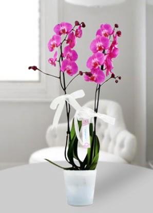 Çift dallı mor orkide  Çanakkale çiçek servisi , çiçekçi adresleri
