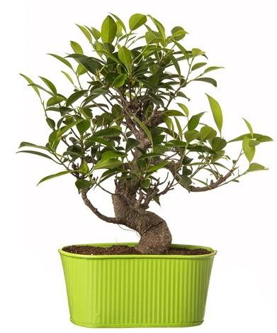 Ficus S gövdeli muhteşem bonsai  Çanakkale hediye sevgilime hediye çiçek