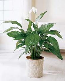 Çanakkale güvenli kaliteli hızlı çiçek  spatilyum ithal büyük boy