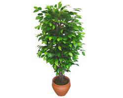 Ficus Benjamin 1,50 cm   Çanakkale çiçek gönderme sitemiz güvenlidir