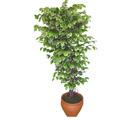 Ficus özel Starlight 1,75 cm   Çanakkale yurtiçi ve yurtdışı çiçek siparişi