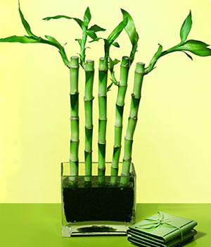 Çanakkale çiçek gönderme sitemiz güvenlidir  Good Harmony Lucky Bamboo camda