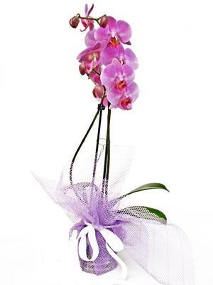 Çanakkale çiçek gönderme sitemiz güvenlidir  Kaliteli ithal saksida orkide