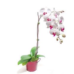Çanakkale çiçek siparişi vermek  Saksida orkide