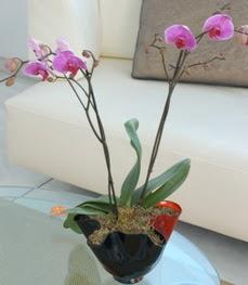 Çanakkale anneler günü çiçek yolla  tek dal ikili orkide saksi çiçegi