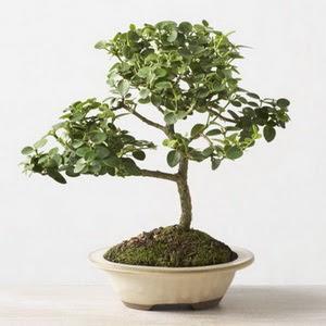 ithal bonsai saksi çiçegi  Çanakkale çiçek gönderme