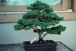 ithal bonsai saksi çiçegi  Çanakkale İnternetten çiçek siparişi