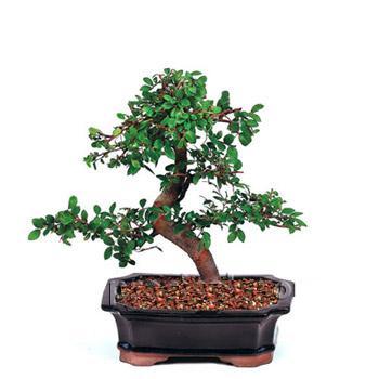 ithal bonsai saksi çiçegi  Çanakkale kaliteli taze ve ucuz çiçekler