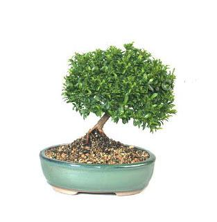 ithal bonsai saksi çiçegi  Çanakkale online çiçekçi , çiçek siparişi