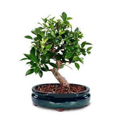 ithal bonsai saksi çiçegi  Çanakkale hediye sevgilime hediye çiçek