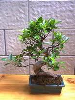 ithal bonsai saksi çiçegi  Çanakkale çiçek yolla