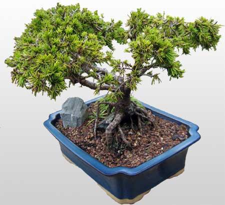 ithal bonsai saksi çiçegi  Çanakkale anneler günü çiçek yolla