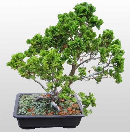 ithal bonsai saksi çiçegi  Çanakkale internetten çiçek satışı