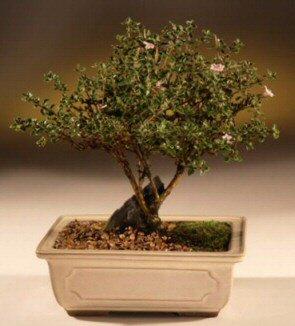 ithal bonsai saksi çiçegi  Çanakkale çiçek satışı