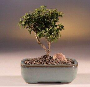 Çanakkale internetten çiçek siparişi  ithal bonsai saksi çiçegi  Çanakkale çiçek online çiçek siparişi