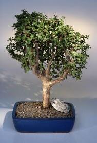 Çanakkale çiçek siparişi vermek  ithal bonsai saksi çiçegi  Çanakkale çiçek servisi , çiçekçi adresleri