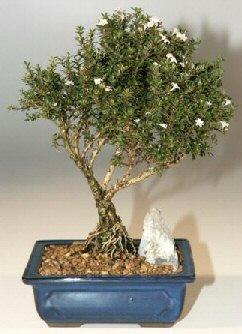 Çanakkale cicekciler , cicek siparisi  ithal bonsai saksi çiçegi  Çanakkale güvenli kaliteli hızlı çiçek