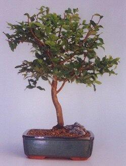 Çanakkale uluslararası çiçek gönderme  ithal bonsai saksi çiçegi  Çanakkale çiçek gönderme sitemiz güvenlidir