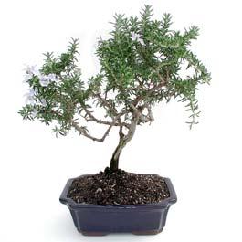ithal bonsai saksi çiçegi  Çanakkale online çiçek gönderme sipariş