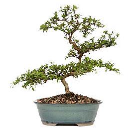 Çanakkale internetten çiçek satışı  ithal bonsai saksi çiçegi  Çanakkale çiçekçiler