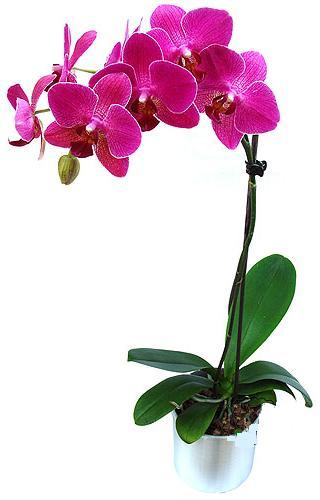 Çanakkale anneler günü çiçek yolla  saksi orkide çiçegi