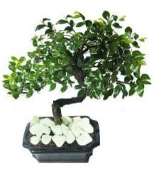 9 yasinda Bonsai agaci  Çanakkale hediye çiçek yolla