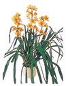 Çanakkale çiçek servisi , çiçekçi adresleri  Orchiede ithal büyük boy saksi