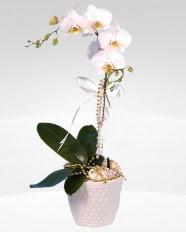 1 dallı orkide saksı çiçeği  Çanakkale çiçekçi mağazası