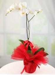 1 dal beyaz orkide saksı çiçeği  Çanakkale hediye çiçek yolla