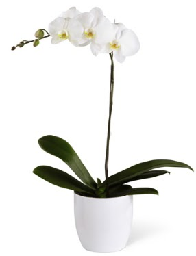 1 dallı beyaz orkide  Çanakkale İnternetten çiçek siparişi