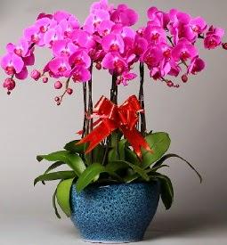 7 dallı mor orkide  Çanakkale çiçek gönderme
