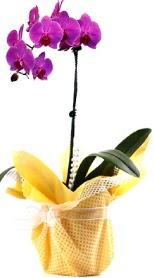 Çanakkale hediye sevgilime hediye çiçek  Tek dal mor orkide saksı çiçeği