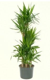 7 li yucca saksı bitkisi  Çanakkale çiçekçi telefonları