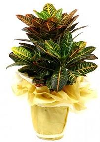 Orta boy kraton saksı çiçeği  Çanakkale İnternetten çiçek siparişi