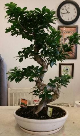 100 cm yüksekliğinde dev bonsai japon ağacı  Çanakkale internetten çiçek satışı