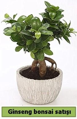 Ginseng bonsai japon ağacı satışı  Çanakkale online çiçek gönderme sipariş