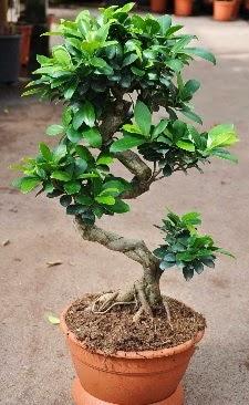 Orta boy bonsai saksı bitkisi  Çanakkale çiçek mağazası , çiçekçi adresleri