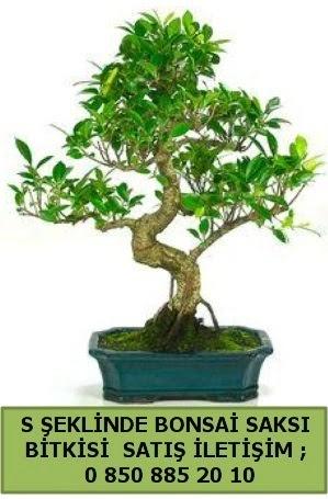 İthal S şeklinde dal eğriliği bonsai satışı  Çanakkale çiçek siparişi vermek
