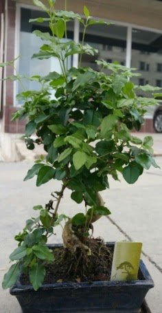 Bonsai japon ağacı saksı bitkisi  Çanakkale kaliteli taze ve ucuz çiçekler