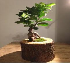 Doğal kütükte Bonsai japon ağacı satışı  Çanakkale çiçek online çiçek siparişi
