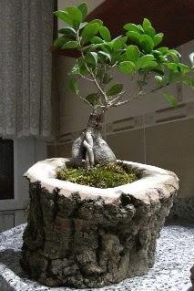 Ahşap kütük içerisinde ginseng bonsai  Çanakkale çiçek mağazası , çiçekçi adresleri