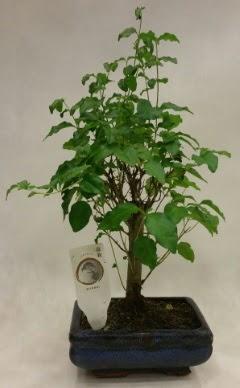 Minyatür bonsai japon ağacı satışı  Çanakkale online çiçek gönderme sipariş
