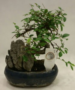 İthal 1.ci kalite bonsai japon ağacı  Çanakkale cicek , cicekci