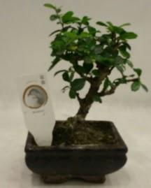 Küçük minyatür bonsai japon ağacı  Çanakkale çiçek siparişi vermek