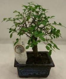 Minyatür ithal japon ağacı bonsai bitkisi  Çanakkale cicek , cicekci