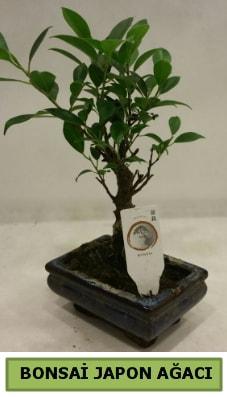 Bonsai japon ağacı saksı bitkisi  Çanakkale çiçekçi telefonları