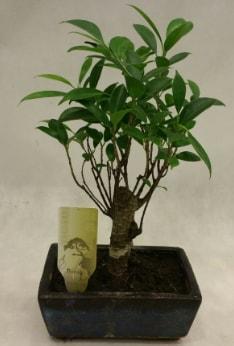 Japon ağacı bonsai bitkisi satışı  Çanakkale online çiçek gönderme sipariş