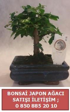 Japon ağacı minyaür bonsai satışı  Çanakkale cicek , cicekci